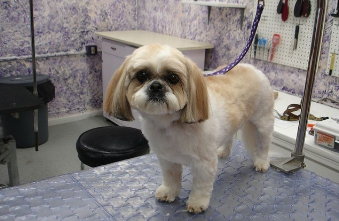 Dog standing on a table in a groomers